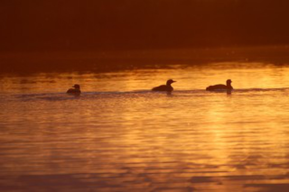 Loons by sunset light at Wind Song