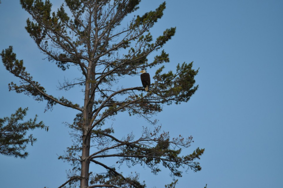 Bald eagle living in tree on property