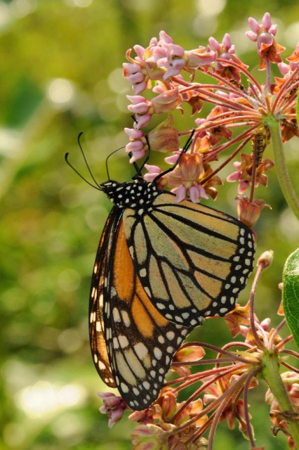 Monarch Butterfly on our Milkweed Patches