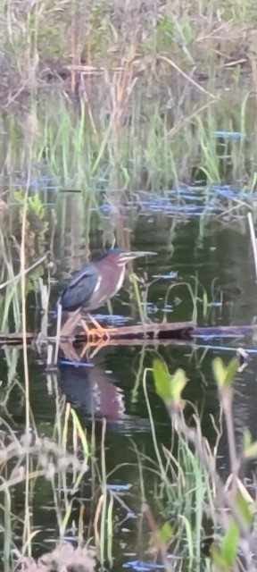 Green Heron in Our Upper Pond