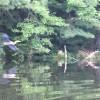 Heron fishing on the pond