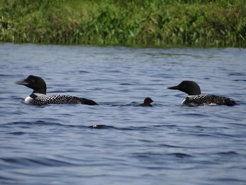 The wildlife is breathtaking.  Baby loon with parents