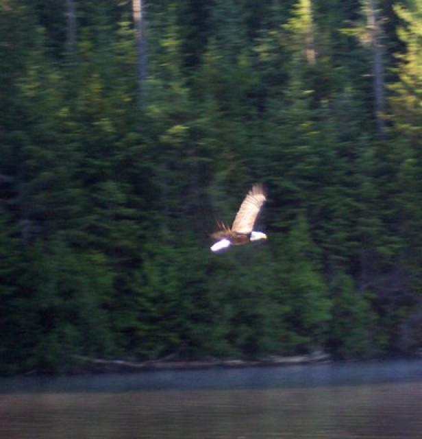 Local wild life (Eagle)