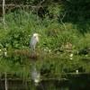 Great Blue Heron Blue Heron Cove