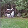 Young moose in the back yard. Can send link of video